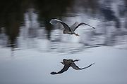 Gråhegre i flukt   Escaping Grey Heron.
