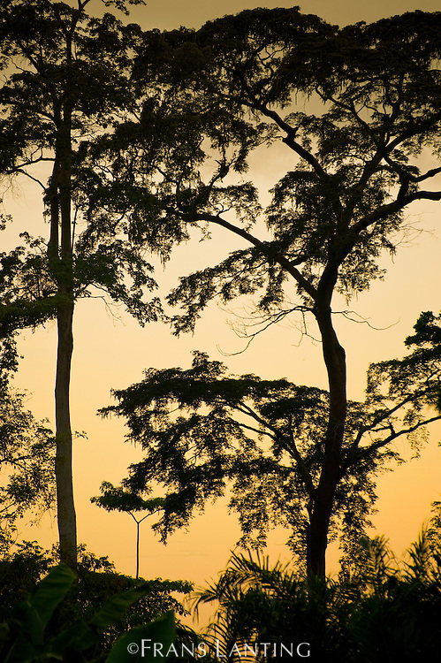 Tall rainforest trees at twilight, Atobiase, Ghana