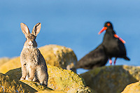 A Rabbit suns at dusk in front of a piar of African Black Oystercatchers, Dassen Island, Western Cape, South Africa