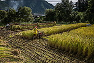 Rice harvest in mountainous Nagano Prefecture.  Japan<br /> <br /> Rice is Japan's most important crop, and deeply connected to its cultural identity.  Yousay Hayashi of the University of Tsukuba says that, because of climate change, Japan's rice harvest nationwide will decrease 12% - 13% but the affect will not be uniform.  The quality of rice has already declined on Kyushu, southernmost among Japan's main islands, because the hotter weather damages rice grains, making them less hard or even cracking them - making region rice varieties less desirable to consumers.  Northern Honshu's Tohoku region and Hokkaido could see harvests increase by up to 26% but their gain would not offset the overall decline in rice harvests and quality.