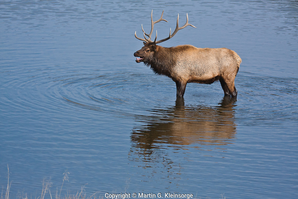 Rocky Mountain Elk (Cervus elaphus)  Reflections of a bull elk in a lake near Estes Park, Colorado.