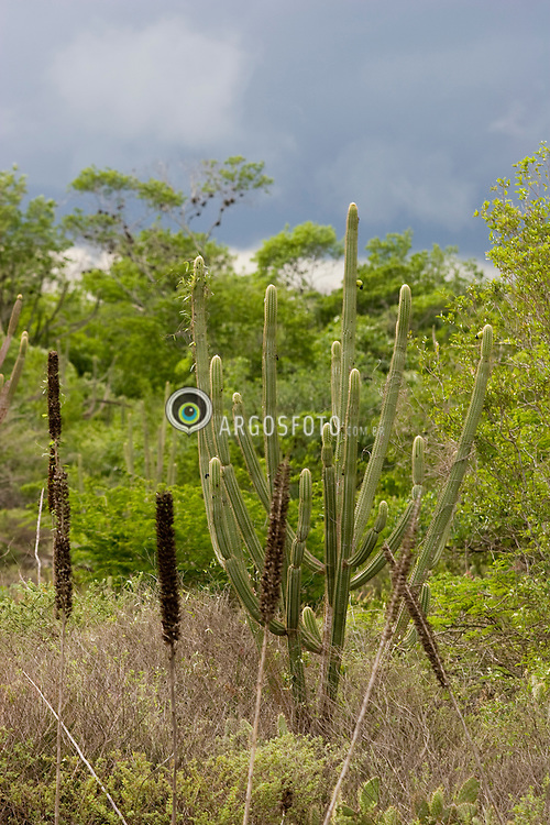 Vegetacao de caatinga em Olho D'Agua do Casado, em  Alagoas. A caatinga eh o unico bioma exclusivamente brasileiro / Caatinga is a type of vegetation, and an ecoregion characterized by this vegetation in the northeastern part of Brazil. Caatinga is the largest dry forest region in South America and certainly one of the richest dry forests in the world..Foto Marcos Issa
