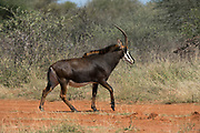 Sable cow (Hippotragus niger)<br /> Camp #2<br /> Exotic Game Breeders / Eden Farm<br /> Limpopo Province<br /> South Africa