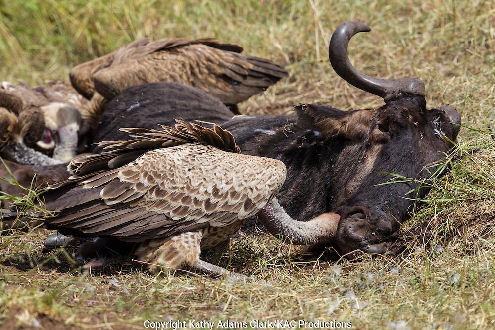 White-backed vulture, Gyps africanus, feeding on a dead wildebeest, in Serengeti, Tanzania, Africa.