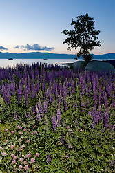 """Wildflowers at Lake Tahoe 1""- These wildflowers were photographed in the early morning at Lake Forest Beach Park, Lake Tahoe."