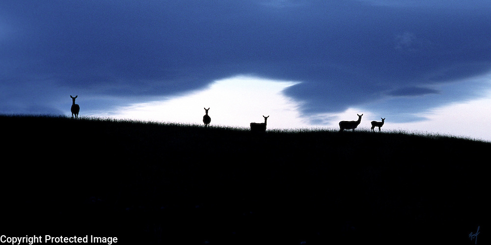 Deer backlighted against the evening sky near Te Anau on the South Island of New Zealand.  The painterly  sky  adds to the impact of the scene.