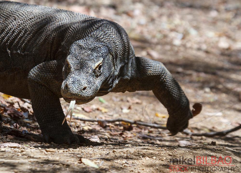 Komodo dragon (Varanus komodoensis). Rinca island.  Komodo National Park. Indonesia, Asia.