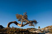 Whitebark pine tree at Lake Aloha in the Desolation wilderness area in south lake tahoe.