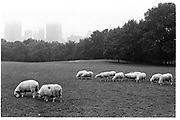 Sheep in sheep meadow, marking symbolic return after an absence of 60 years, 26th September 1992 8 am, Central Park, New York© Copyright Photograph by Dafydd Jones 66 Stockwell Park Rd. London SW9 0DA Tel 020 7733 0108 www.dafjones.com