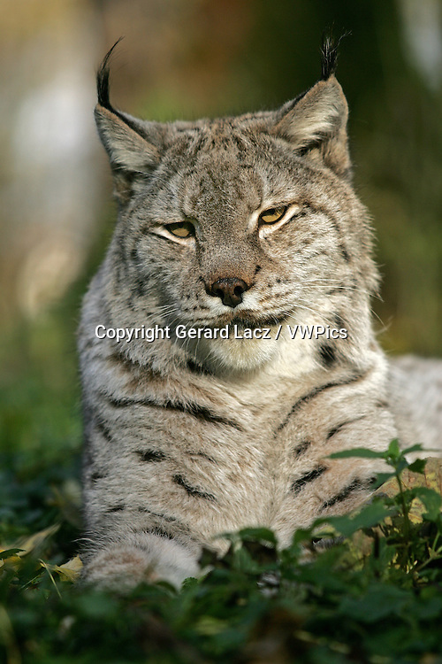 EUROPEAN LYNX felis lynx, PORTRAIT OF ADULT