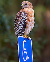 Hawk Guarding the Handicapped Parking Space. Image taken with a Nikon Df camera and 300 mm f/4 lens (ISO 2200, 300 mm, f/4, 1/1250 sec)