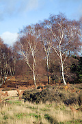 Silver birch trees on heathland Suffolk Sandlings England