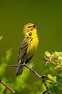 Prairie Warbler, Dendroica discolor