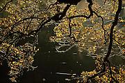 English oak tree (Quercus robur) in autumn colours, with spider web. Kellerwald, Hesse, Germany | Spinnfäden spannen sich zwischen Eichenästen. Altweibersommer heißt diese Zeit im Herbst, weil junge Spinnen, die in dieser Zeit lange Fäden weben. Der Name kommt aus der alten Form der deutschen Sprache, denn weben hieß früher «weiben». Die Spinnen lassen sich an diesen Fäden vom Wind wegtragen. Ihre Spinnfäden bleiben an Bäumen, Hecken oder im Gras hängen. Dort bilden sie oft ein Geflecht, das im Sonnenlicht schimmert. Kellerwald, Deutschland