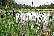 McCall, Lily Marsh and cattails at Ponderosa State Park near Payette Lake and the city of McCall in central Idaho