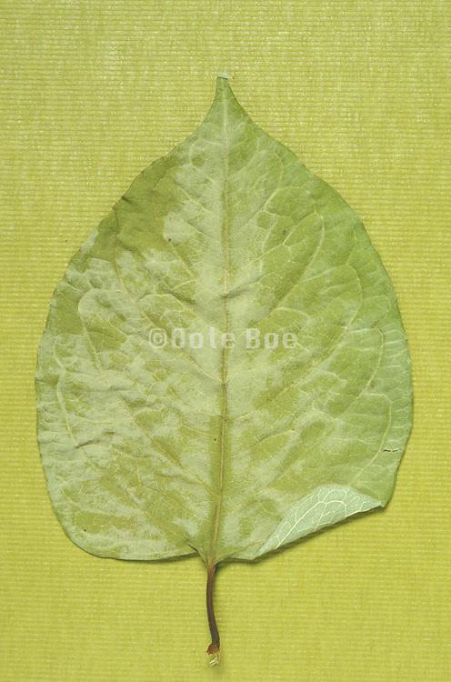 Still life of dried leaf