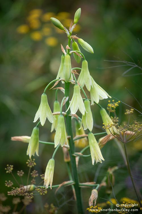 Galtonia viridiflora syn. Ornithogalum viridiflorum with Foeniculum vulgare - fennel.