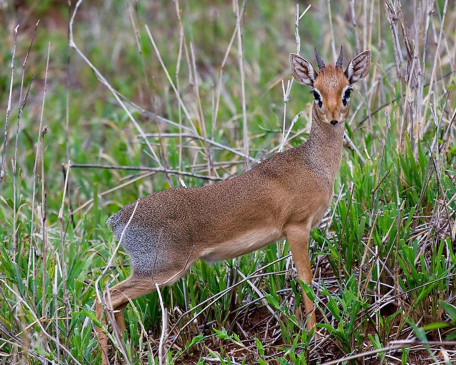 (Madoqua kirkii) Dik-Diks are miniature antelope, no larger than a house cat. A Male Kirk's Dik-Dik Stands and Listens for Danger Tarangire National Park, Tanzania.