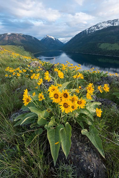 Arrowleaf balsamroot in bloom on a glacial moraine along Wallowa Lake, Oregon.