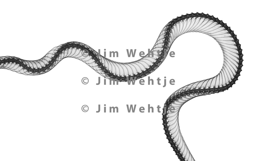X-ray image of a colubrid snake section (black on white) by Jim Wehtje, specialist in x-ray art and design images.