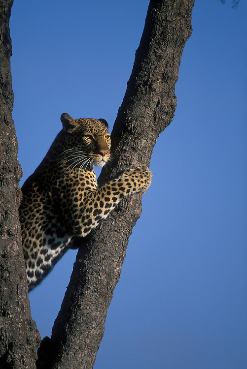 Africa, Kenya, Masai Mara Game Reserve, Adult Female Leopard (Panthera pardus) climbs tree in early morning light