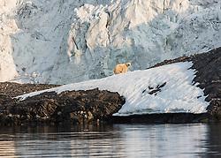 Polar bear (Ursus maritimus) in Spitsbergen, Svalbard, Norway