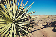 Yucca at at Joshua Tree National Park