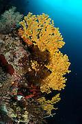 Fan coral (Gorgonacea) with open polyps. Raja Ampat, West Papua, Indonesia, Pacific Ocean