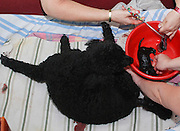 Female Poodle dog gives birth to a pup. This is one from a litter of six pedigree puppies born on July 12 2010. Owners help in the procedure