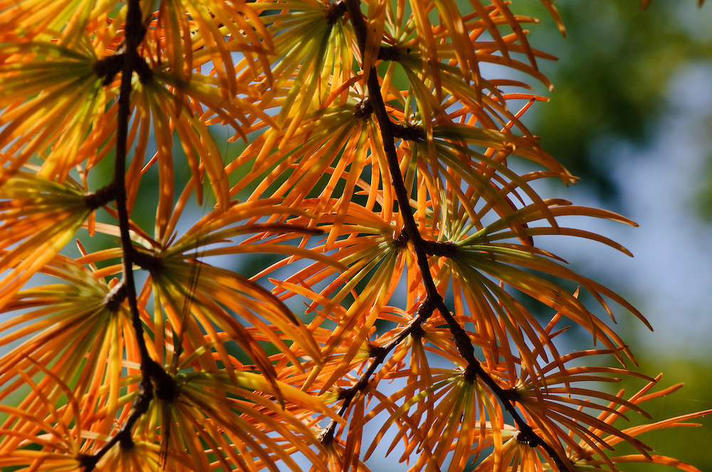 larix Herfstblad, Autumn leave