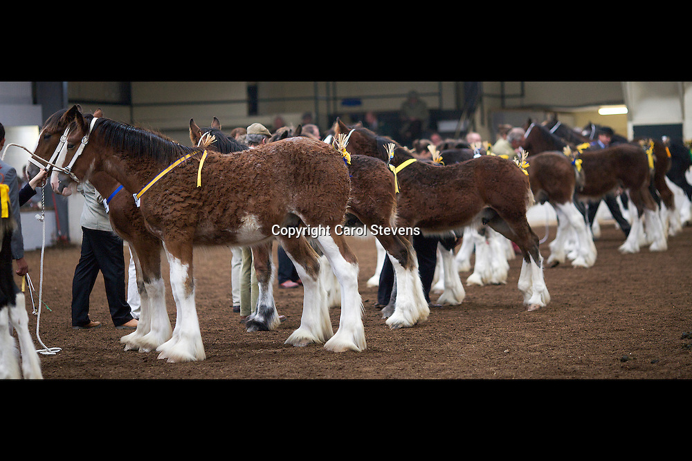 North West and Wales Shire Foal Society <br /> 33rd Annual Show and Sale<br /> 13 October 2012<br /> Colt Foal Class