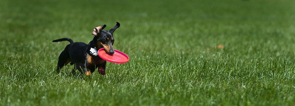 A daschund retrieves a disc during competition.