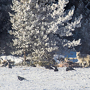 A timber wolf stands by a bison carcass while ravens await their turn.