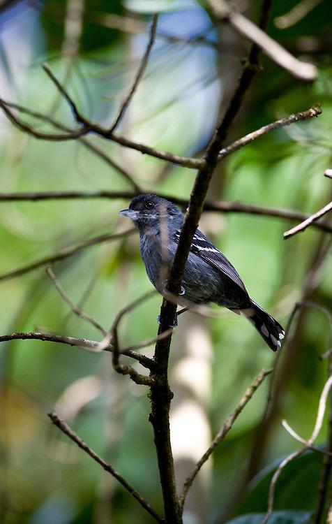 Itabirito _ MG, Brasil..Detalhe de um Choquinha-da-serra no galho de uma arvore em uma floresta...Detail of Choquinha-da-serra  in branch tree of a forest...Foto: JOAO MARCOS ROSA / NITRO