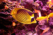 Diagonal Butterflyfish (Chaetodon fasciatus), also known as the Red Sea Raccoon Butterflyfish. This species of butterflyfish (family Chaetodontidae) is endemic to the Red Sea. Photographed in Eilat, Israel