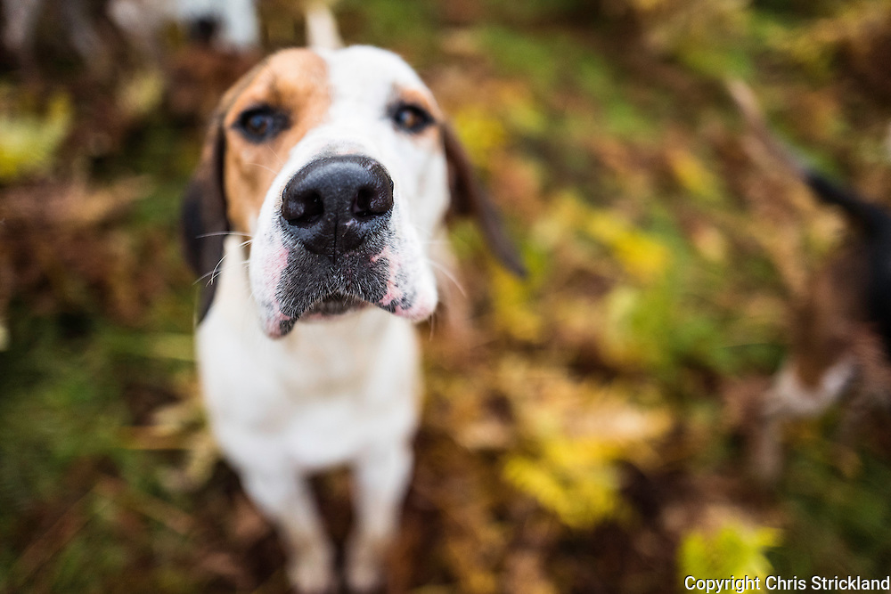 Romper. A foxhound of the Jedforest Hunt.