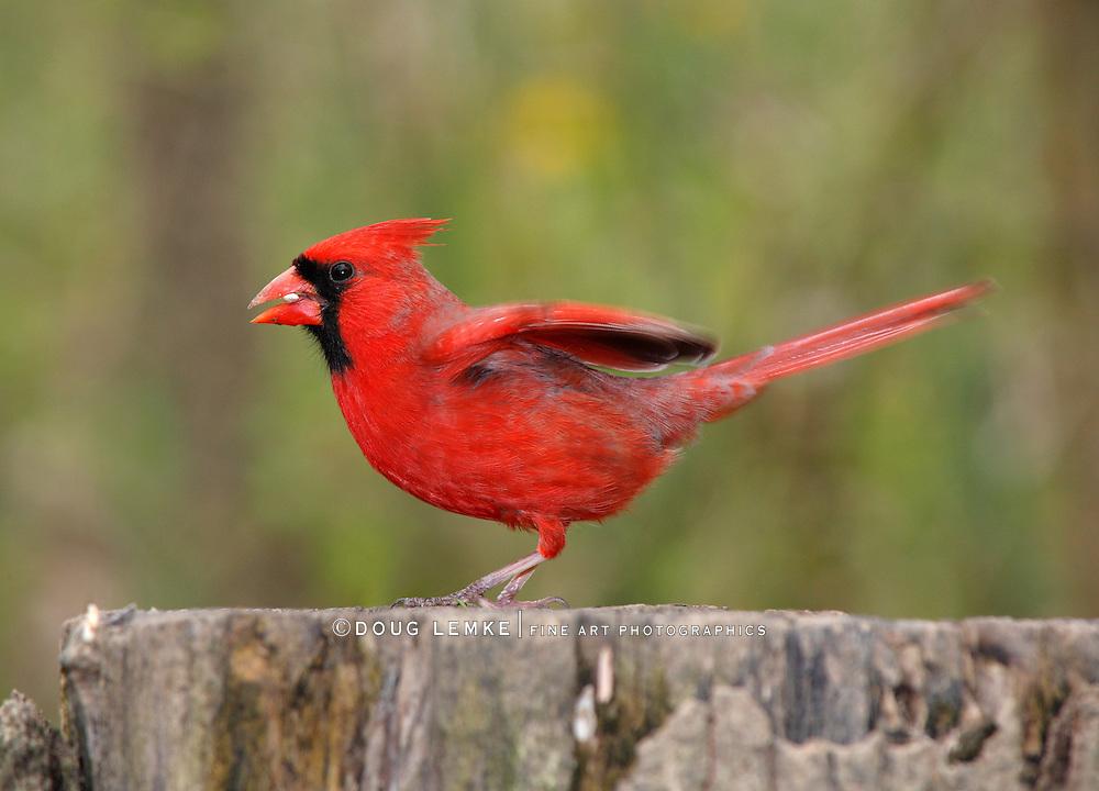 Bird, Northern Cardinal, Male, Taking Flight, Cardinalis cardinalis