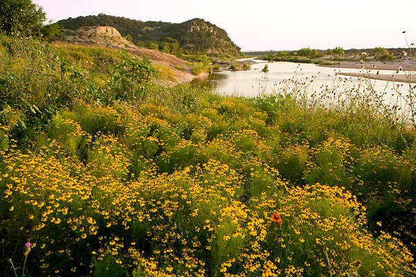 Stock photo of a field of yellow native wildflowers along the Llano River in the Texas Hill Country
