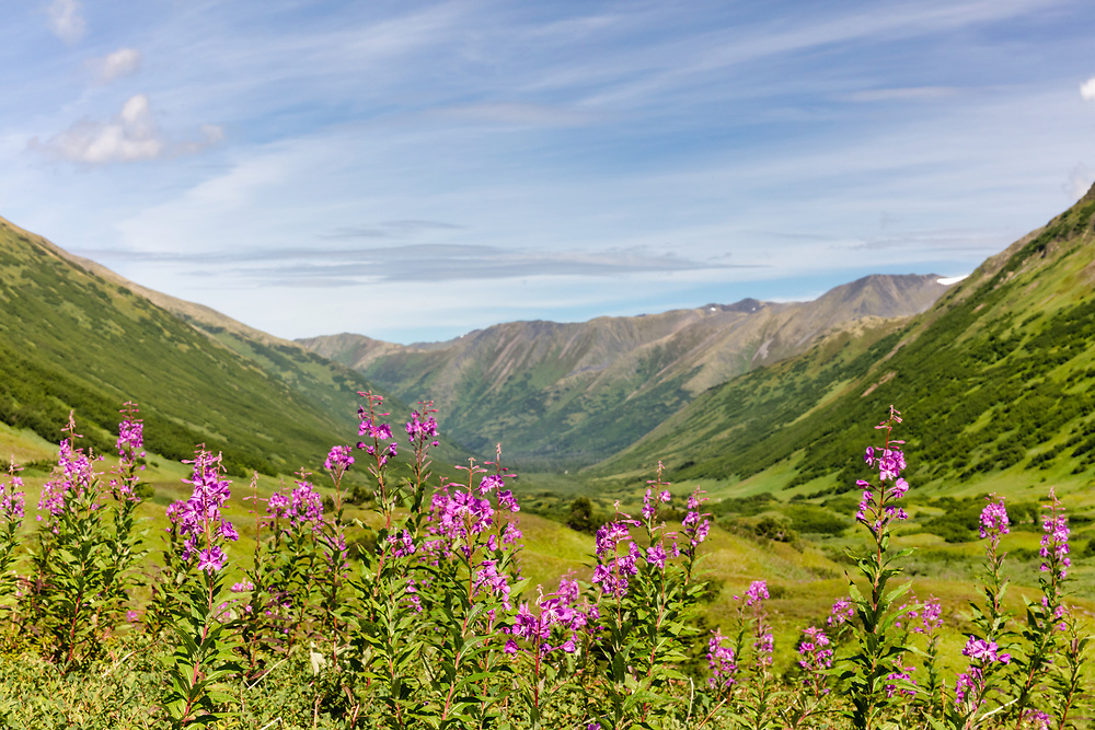 Field of Fireweed (Epilobium angustifolium) in Chugach National Forest along Palmer Creek Valley in Southcentral Alaska. Summer. Afternoon.