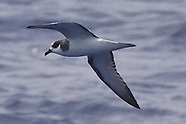 Stejneger's Petrel photos