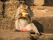 30 NOVEMBER 2014 - LOPBURI, LOPBURI, THAILAND:  A Long Tailed Macaque monkey eats a snack during the monkey buffet party at Phra Prang Sam Yot in Lopburi. Lopburi is the capital of Lopburi province and is about 180 kilometers from Bangkok. Lopburi is home to thousands of Long Tailed Macaque monkeys. A regular sized adult is 38 to 55cm long and its tail is typically 40 to 65cm. Male macaques weigh around 5 to 9 kilos, females weigh approximately 3 to 6 kg. The Monkey Buffet was started in the 1980s by a local business man who owned a hotel and wanted to attract visitors to the provincial town. The annual event draws thousands of tourists to the town.   PHOTO BY JACK KURTZ