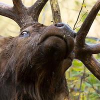 elk in brushy area rubbing fir tree