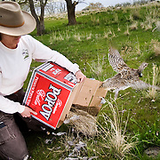 Jolene Hatch a Utah State Wildlife Biologist stationed at Antelope Island State Park, releases a Columbian Sharp Tailed Grouse that had been captured earlier in the day in Cache Valley into the wilds on Antelope Island, Utah, Thursday, April 23, 2009. August Miller, Deseret News The Wildlife Division uses old liquor boxes to house the birds while they are being moved as they have solid cardboard dividers which help hold the birds in place and keep them from getting injured during transport. They also are free..