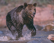 Grizzly bear running through stream, [captive, controlled conditions]  © 1999 David A. Ponton