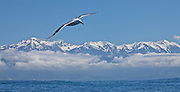 Wandering Albatross, flying in front of the Kaikoura Seaward Range, New Zealand