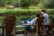 A North American elk grazes along a pond as customers at a coffee shop watch in downtown Estes Park, Colorado.