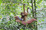 Sumatran Orangutan<br /> Pongo abelii<br /> Mother and playful 9 month old baby in day nest<br /> North Sumatra, Indonesia<br /> *Critically Endangered
