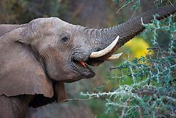 A desert-adapted elephant (Loxodonta africana) carefully grazing from a thorny acacia tree, Skeleton Coast, Namibia, Africa