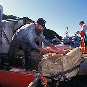 Fisherman Unloads Yelloweye Rockfish From Fishing Boat Hold, Ninilchik, Kenai Peninsula, Alaska USA