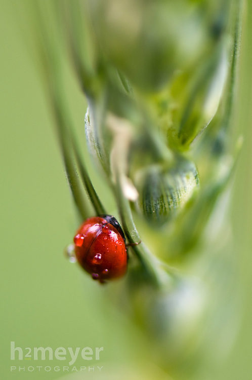Ladybug eating an aphid on a spring wheat seed head.